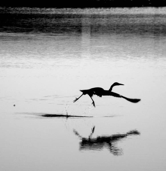 Heron by mervyntattoo