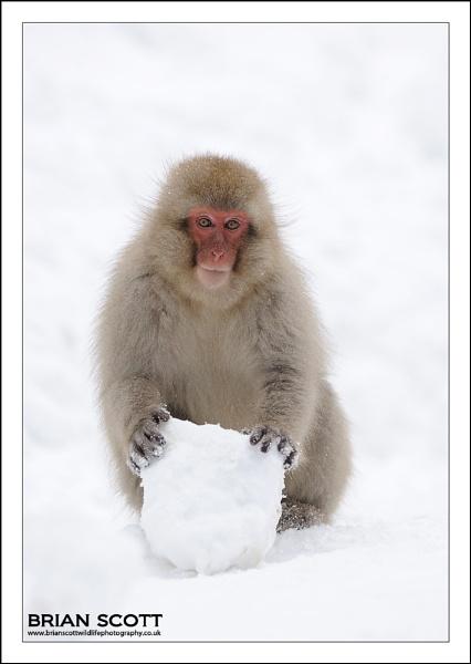 Snow Monkey by Brian_Scott