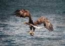 SEa Eagle with Fish