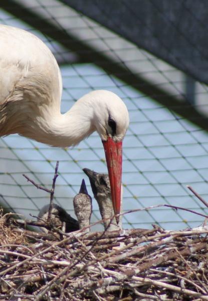 Stork and 3 young by basilandjazz