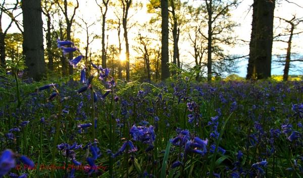 Blickling Bluebells by PaulThetfordPhotography