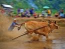 Cow Race (Pacu Jawi)