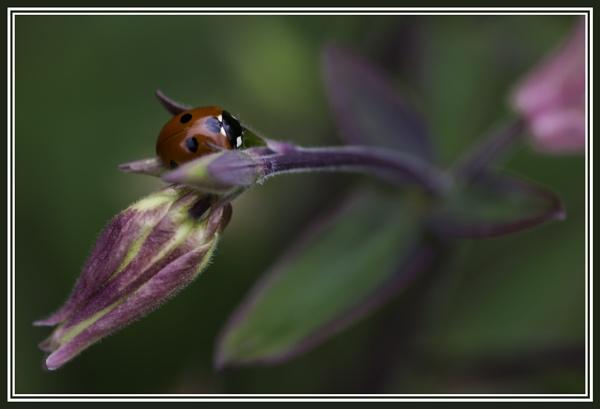 Ladybird on an Aquilegia Bud by DalesLass