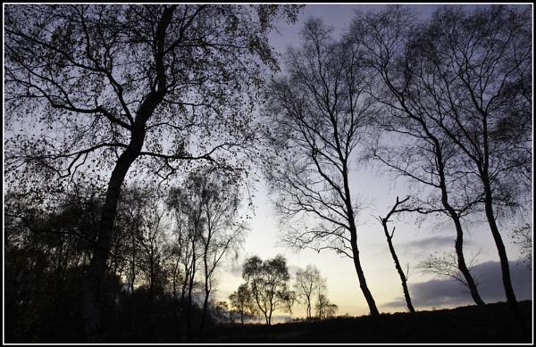 Silver Birch in Silhouette