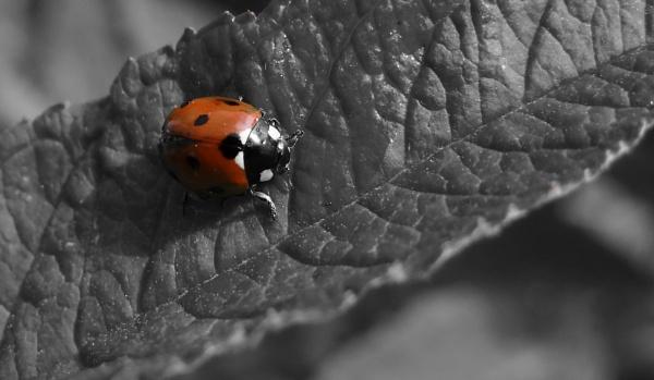 Mrs Ladybird B+W by adrianbuttonphotography