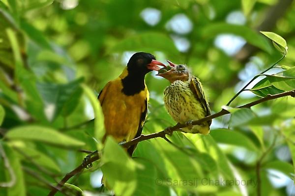 nesting by sarasij