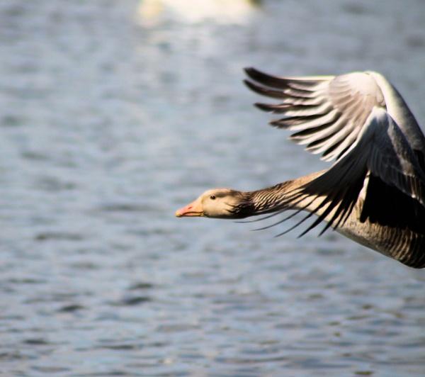 goose in flight by sandk