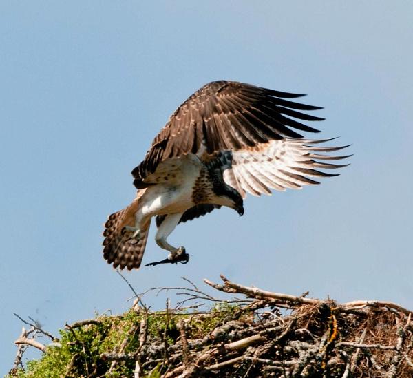 osprey with breakfast by weereuben