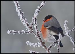 Frosty Bullfinch