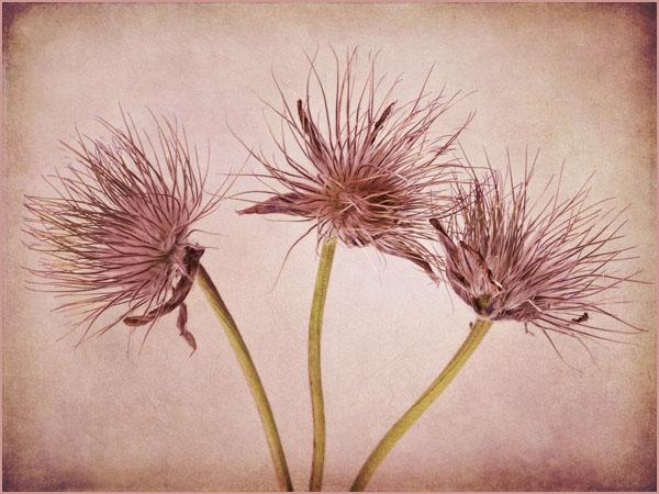 Seedheads x 3 by JenniCh