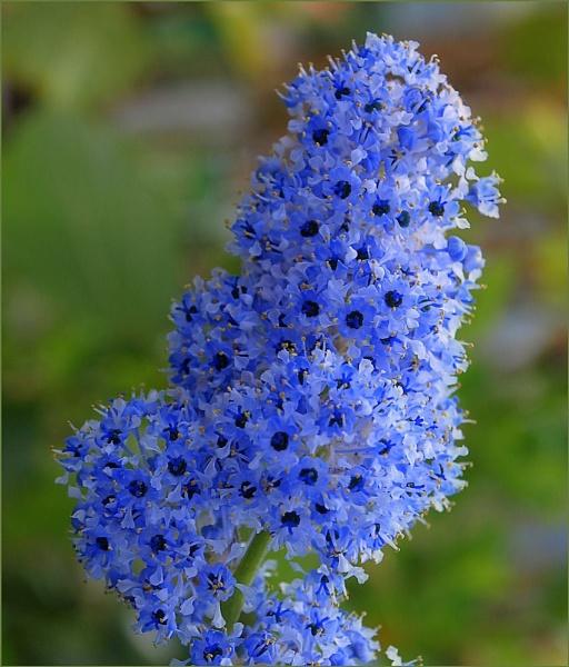Blue Flower by carpmanstu