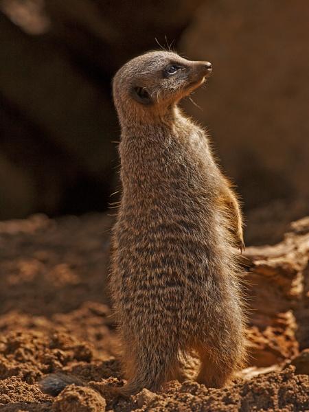Meerkat by skewey