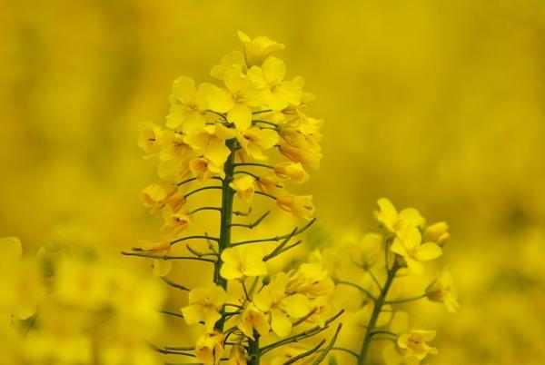 Mellow Yellow by awmb