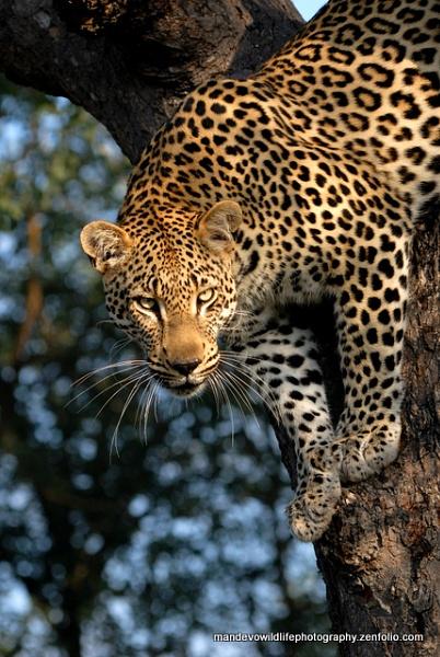 Male Leopard by Mandevo