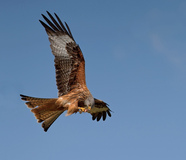 Red Kite by Phil_Morgan
