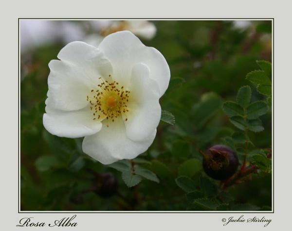 Rosa Alba by ElmsArt