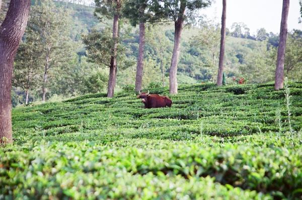Indian Gaur in Conoor Tea Plantation by claudius_v
