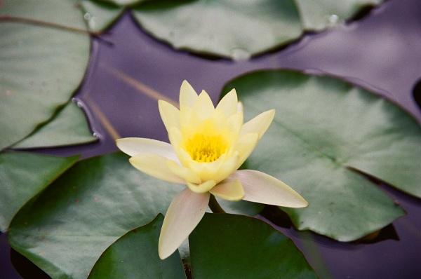 Lotus by claudius_v