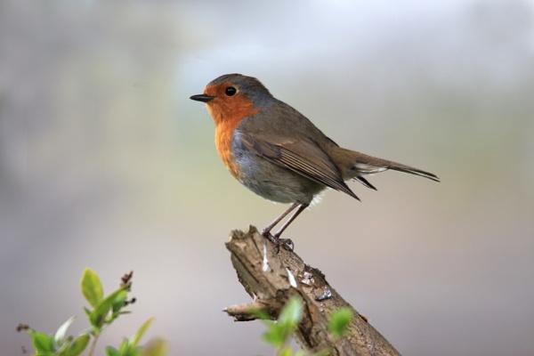 Robin by MandsH