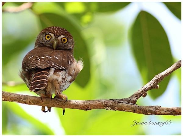 Cactus Ferruginsus Pygmy Owl by Jason_Bonsey