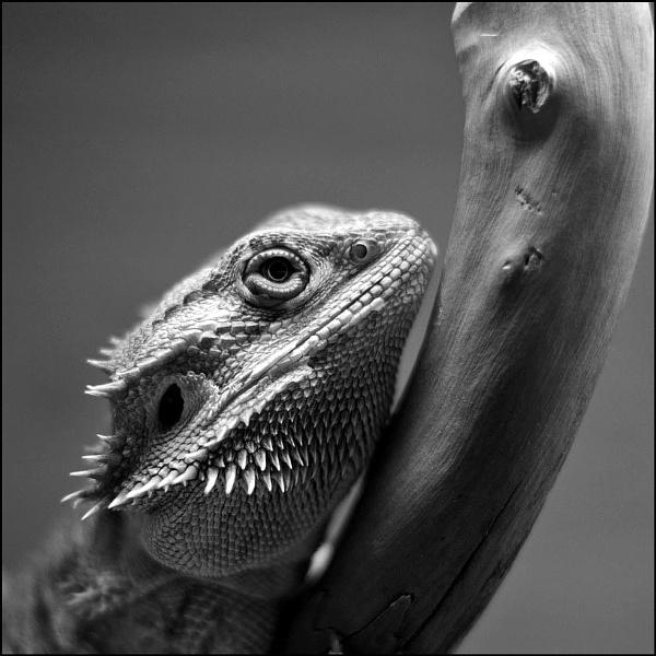 lizard by peter_hopson