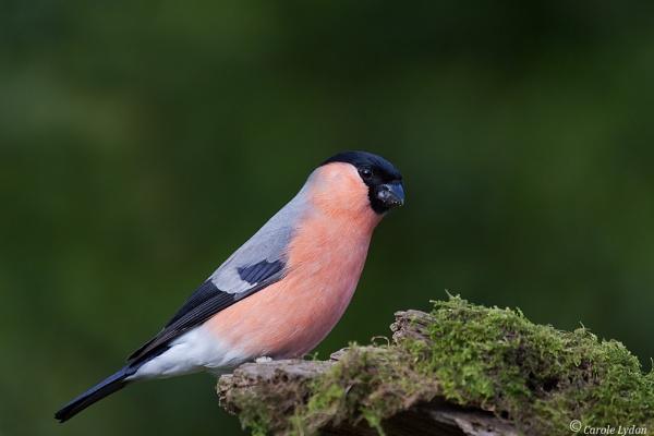 \'My\' Bullfinch by Karrol