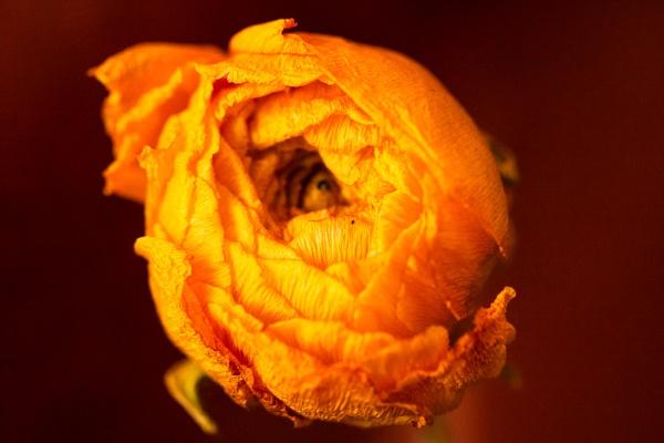 Old Rose by Merlin_k