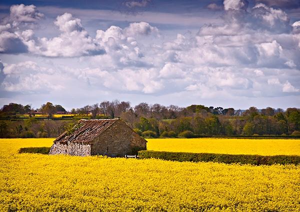 Barn in a field of rape by pdove