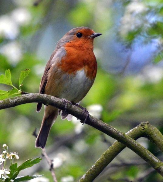 Robin by JoshReptiles