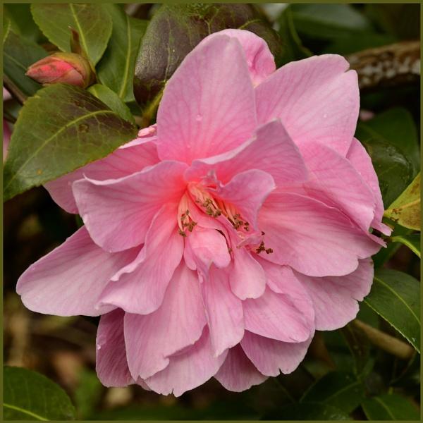 "\""Camellia\"" by RonnieAG"