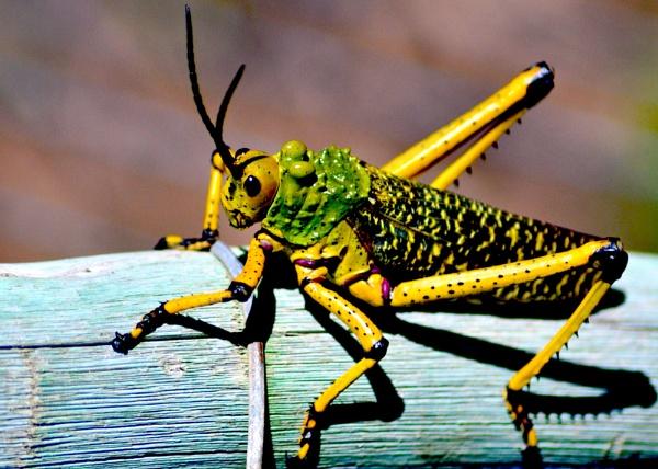 Grasshopper 2 by Chazzzyb