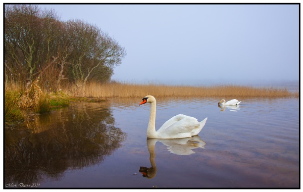 Swans.. by MD2009