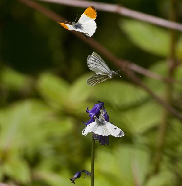 Orange tip butterflies by hibbz