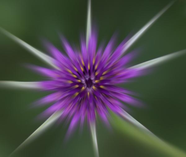 Purple burst by kentbirder