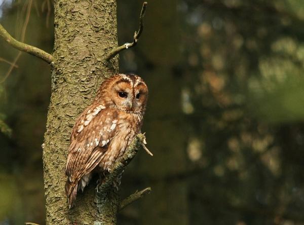 Tawny Owl by ruby34