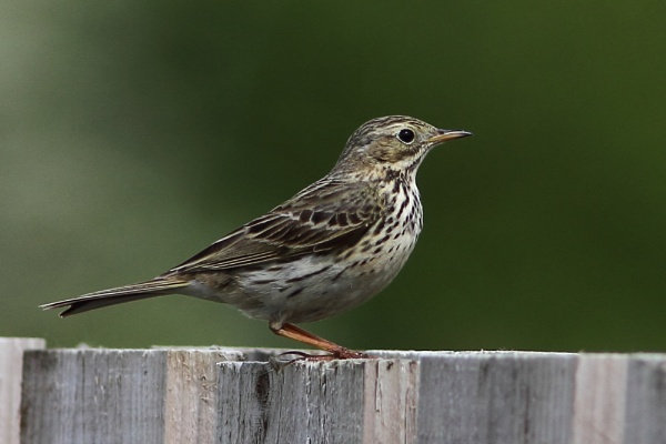 Meadow Pipit by PaulB45