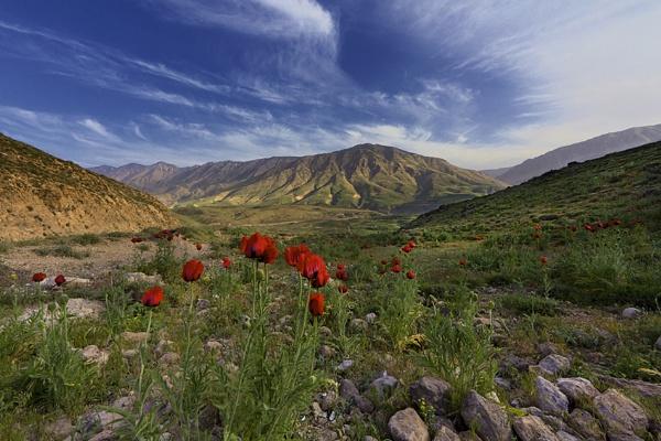 Anemone Flower by saeedyounesi