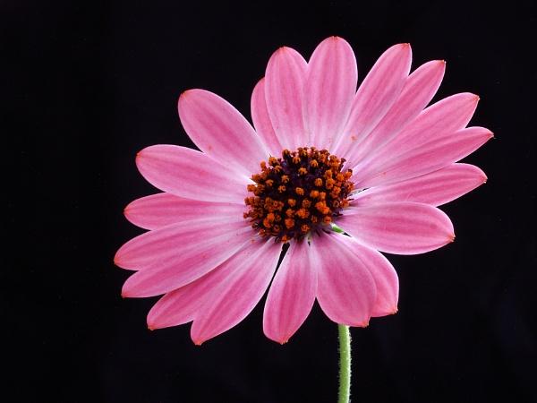 Osteospermum by nicedayout