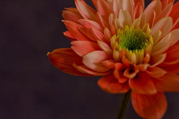 Orange Flower by Hilmar