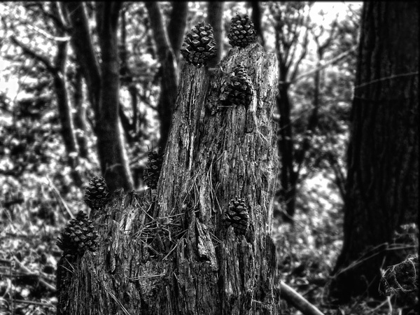pine cones on stump in black and white by paulmanneringphotos