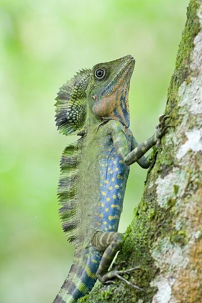 Great angle head lizard