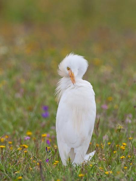 cattle egret by pronature