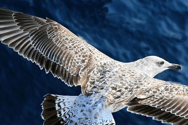 Juvenile Seagull by Glynn