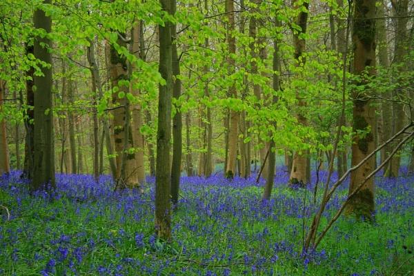 Queenswood Bluebells by Glostopcat
