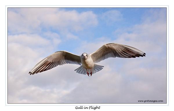 Gull in Flight by GlynnisFrith