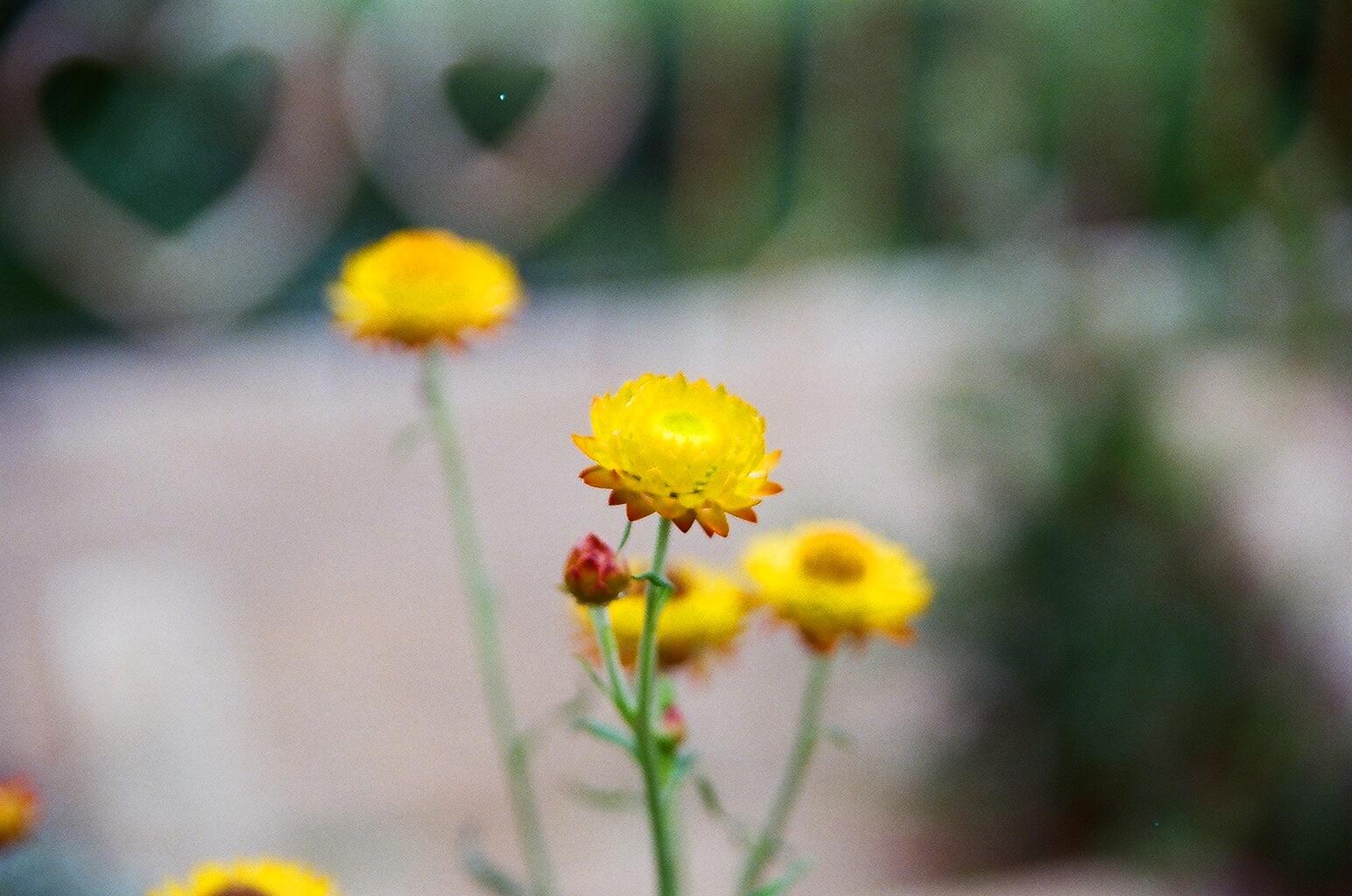 Native Flowers, Ooty