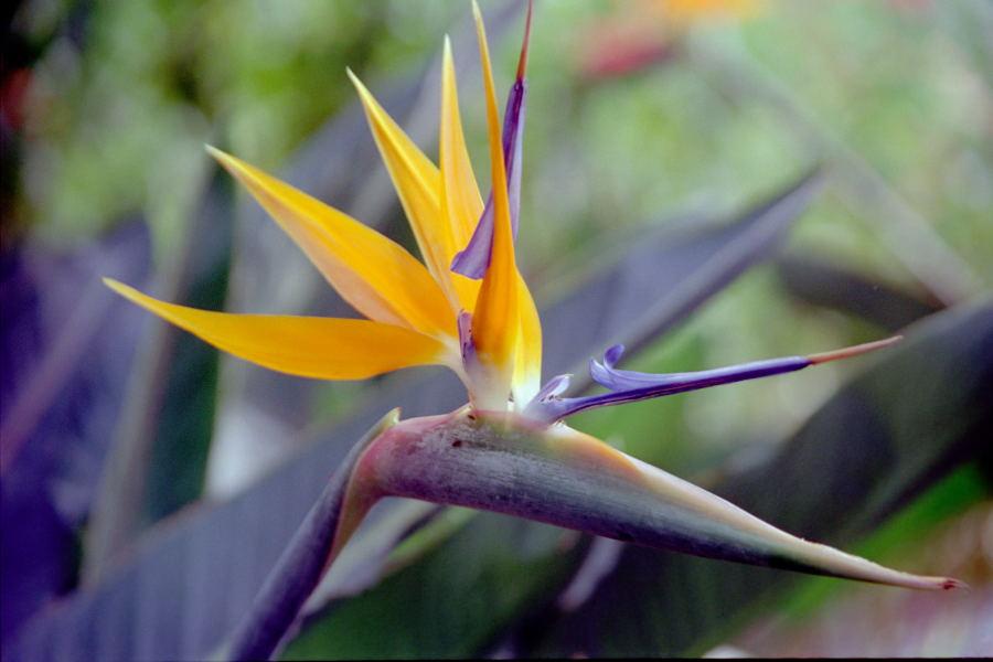 Bird of Paradise Flower (strelitzia reginae) shot at Butterfly Park, Bangalore