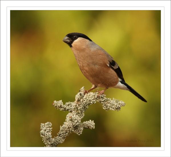 Female Bullfinch. by Graham_P