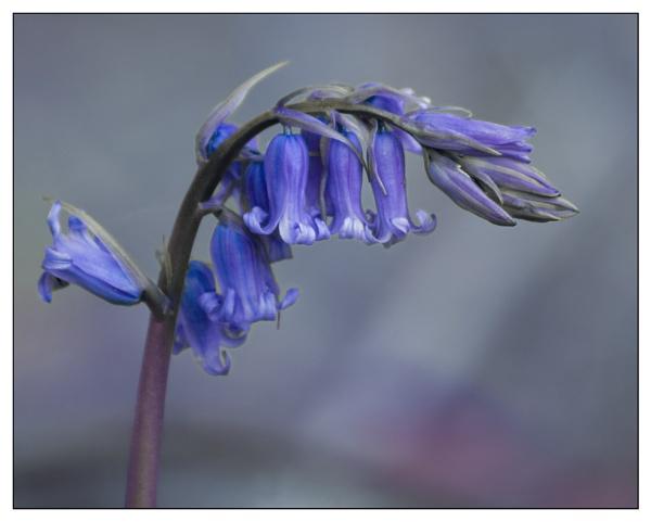 Single Bluebell by AEVANS10