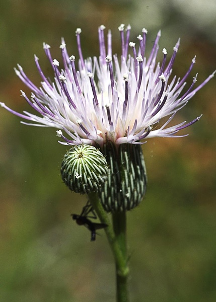wild flower by wsteffey